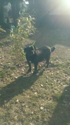 Fleur, chien Cane Corso