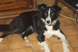 Fleur, chien Border Collie