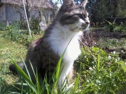 Fleur, chat Européen