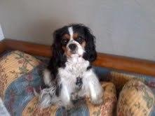 Fleur, chien Cavalier King Charles Spaniel