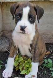 Fleur, chien Boxer