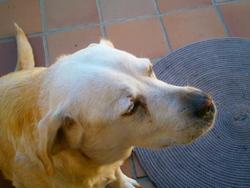 Fleur, chien Labrador Retriever