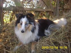 Fleurette, chien Berger des Shetland