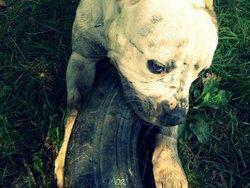 Flex, chien