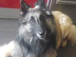 Flex, chien Berger belge