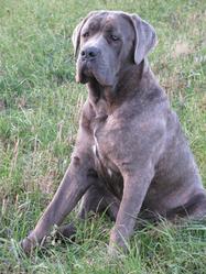 Flick, chien Cane Corso