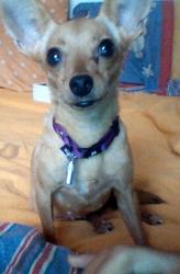 Flicka, chien Pinscher