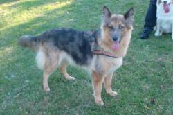 Flicka, chien Berger allemand