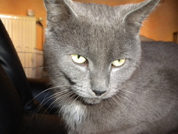 Flicky, chat Chartreux