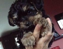 Flik, chien Yorkshire Terrier