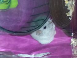 Flik, rongeur Hamster