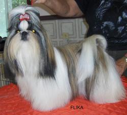Flika, chien Shih Tzu