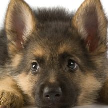 Flika, chien Berger allemand