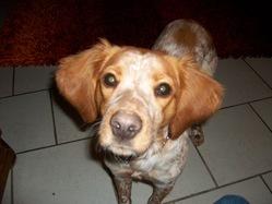 Flika, chien Épagneul breton