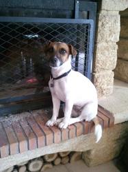 Flintstone, chien Jack Russell Terrier