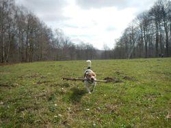Flip, chien Jack Russell Terrier
