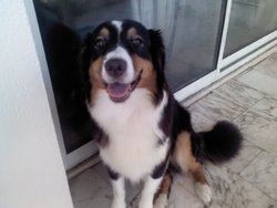 Flipe De La Paix Retrouvee, chien Berger australien