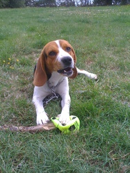 Fliper, chien Beagle