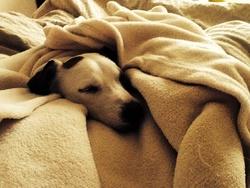 Flipie, chien Jack Russell Terrier