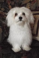 Flipo, chien Bichon maltais