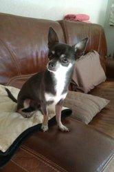 Flipper, chien Chihuahua
