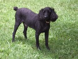 Flipper Dcd 2006, chien Caniche