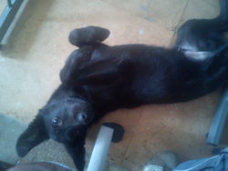 Flix, chien Labrador Retriever
