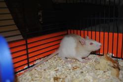 Flo, rongeur Rat