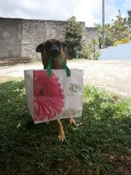 Flo, chien Berger allemand