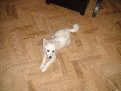 Flockon , chien Spitz japonais