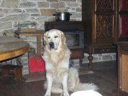Flocky, chien Golden Retriever
