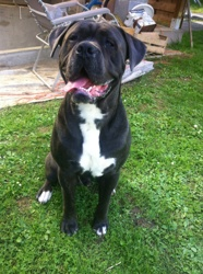 Flocky, chien Cane Corso