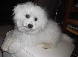 Flocon, chien Bichon à poil frisé