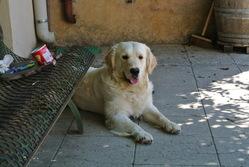 Flocon, chien Golden Retriever