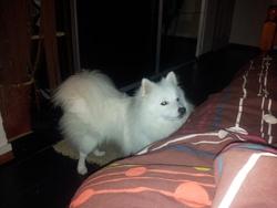 Flocon, chien Spitz japonais