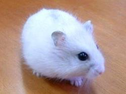 Flocon, rongeur Hamster