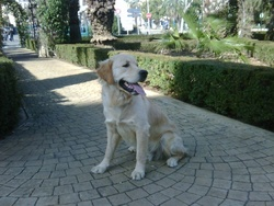 Flocon, chien Golden Retriever