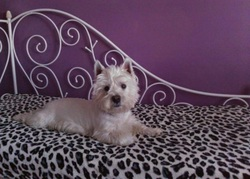 Flocon, chien West Highland White Terrier