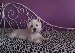 Flocon, chien West Highland White Terrier