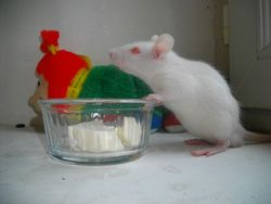 Flocon, rongeur Rat