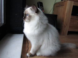 Flocon, chat Birman
