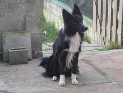 Flocon, chien Border Collie