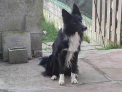 Flocon, chien Border Collie