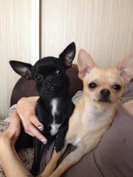 Flocon, chien Chihuahua
