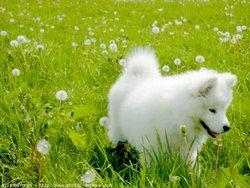 Flocon, chien Samoyède