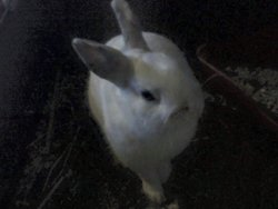 Flocon , rongeur Lapin