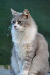 Flocon, chat Maine Coon