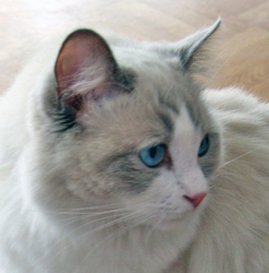 Flocon, chat Ragdoll