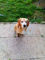 Flocon, chien Beagle
