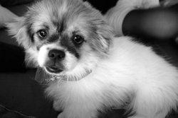Flocon, chien Épagneul tibétain